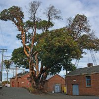 Dockyard's Big Tree – End of an Era